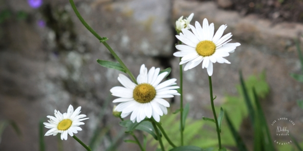 daisies.NC.DHC