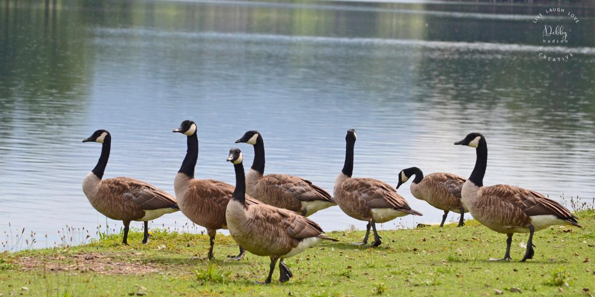 geese.lake.DHC